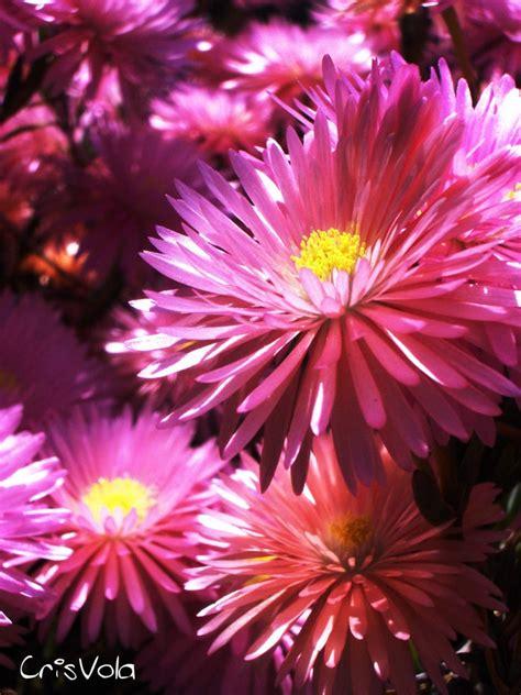 foto fiori bellissimi fiori immagini gratis nel web fiori bellissimi unici e