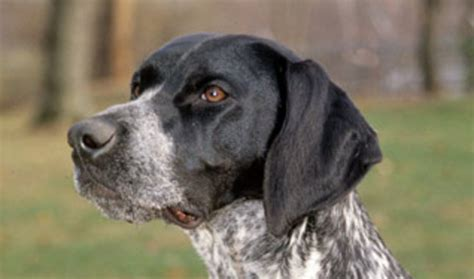 Stop German Shorthaired Pointer Shedding by German Shorthaired Pointer Breed Information