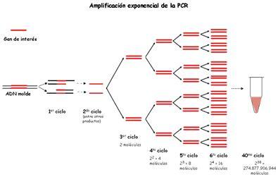 bureau de la pcr 233 tica pcr reacci 243 n en cadena de la polimerasa