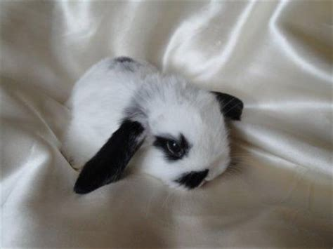 lapin nain belier my little life