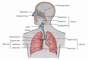 Simple Respiratory System Diagram