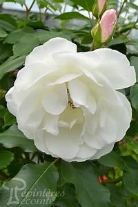Rosier Grimpant Blanc : rosier iceberg grimpant p pini re lecomte ~ Premium-room.com Idées de Décoration
