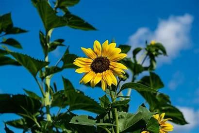 Bunga Sunflower Matahari Flower Wallpapers Girassol Parede