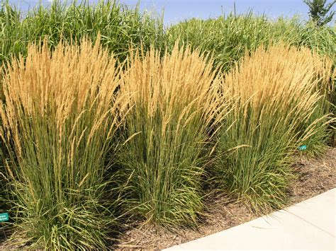 grass plant ornamental grasses grndoordesign