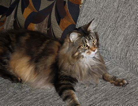 do maine coon cats shed their mane what s it like a maine coon cat as a pet quora