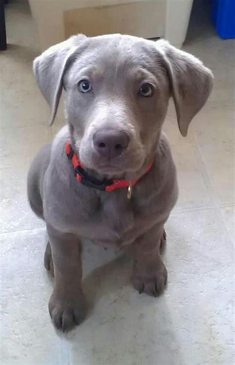 best ideas about labradors on grey lab with blue www imgkid the image kid