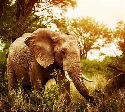 Jungle Elephant Wild Animals Walking General Animal