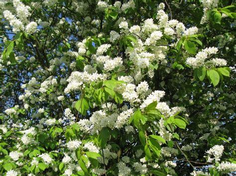 le bon coin cuisine occasion arbustes à fleurs de printemps tous nos sujets