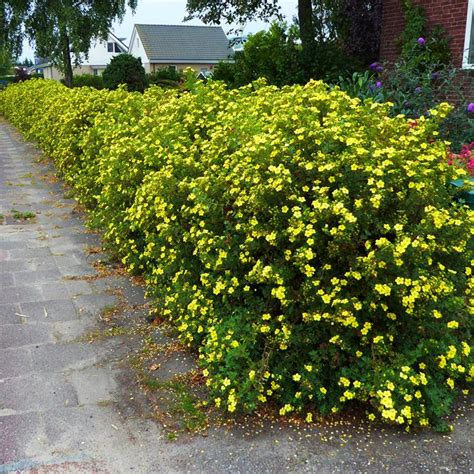 hedge bushes potentilla fruticosa 10 hedge plants buy online order yours now