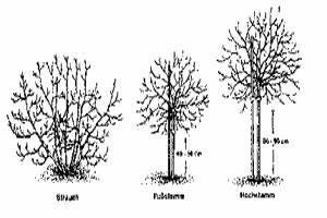 Hochstamm Stachelbeeren Schneiden : tip johannis und stachelbeere pflanzen ~ Lizthompson.info Haus und Dekorationen