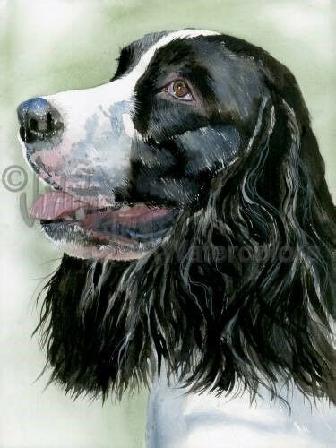 english springer spaniel dog art print watercolor painting