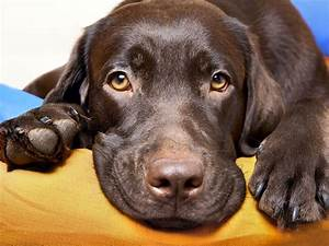 Chocolate Labradors Die Sooner Than The Other Kinds  Study