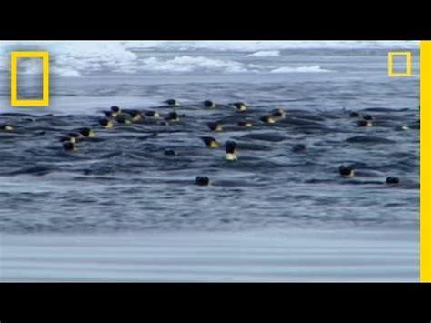 penguins  leopard seal youtube