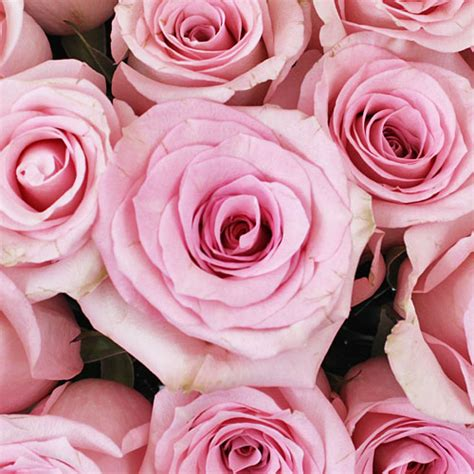 light pink roses light pink