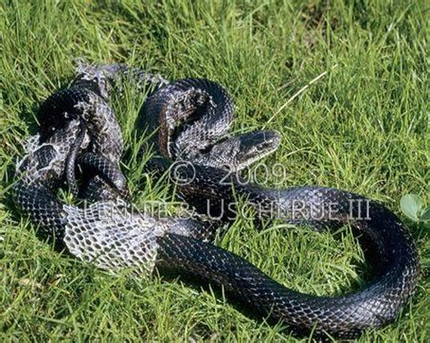 Snake Skin Shedding Use by Snake Black Rat Or Pilot Blackelaphe Obsoleta