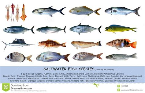 cuisine alligator fish species saltwater classification isolated stock