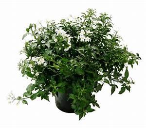 Jasmin Pflanze Pflege : wei er jasmin busch dehner garten center ~ Markanthonyermac.com Haus und Dekorationen