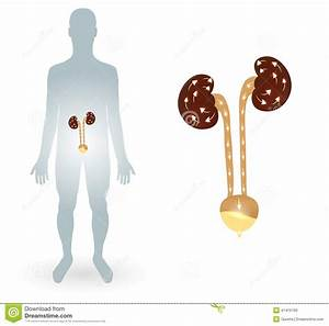 Human Silhtouette And Urinary System Stock Vector