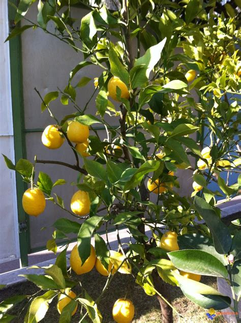 photo citronnier en pot