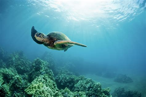 Hawaiian Green Sea Turtle Wall Mural And Photo Wallpaper
