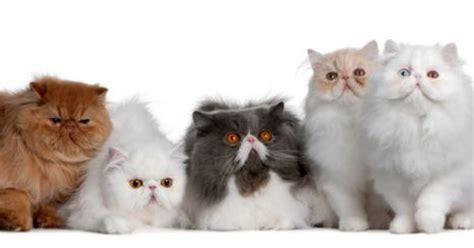 quanto vivono i gatti persiani gatti persiani carattere foto e salute dei mici