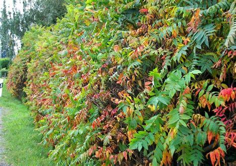 rhododendron niedrigere klassifizierungen hecken buntes herbstlaub