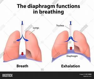 Diaphragm Functions Vector  U0026 Photo  Free Trial
