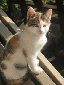 calico cat calico cats search kissable kitties 2