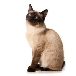 types of siamese cats siamese cats blogs monitor