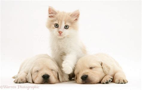 Pets: Kitten between sleepy Golden Retriever pups photo ...