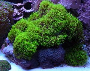 Green Star Polyps! | REEF CAVE