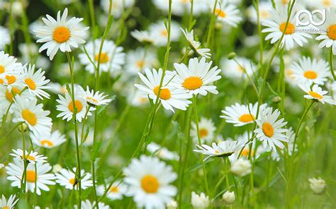 Daisy Flower Wallpapers Hd Pictures One Hd Wallpaper HD Wallpapers Download Free Images Wallpaper [1000image.com]