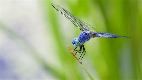 Cool Baby Animal Wallpapers Blue Dragonfly Desktop High Quality Wallpapers Wallpaper Desktop High Definition Wallpapers