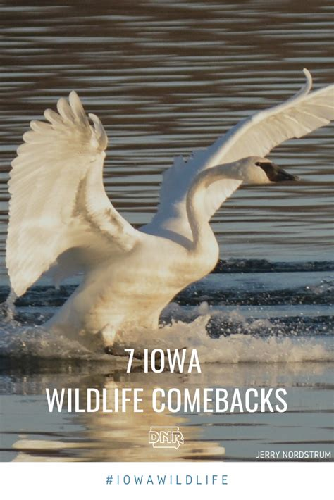 iowa wildlife comebacks iowadnr gov otter river