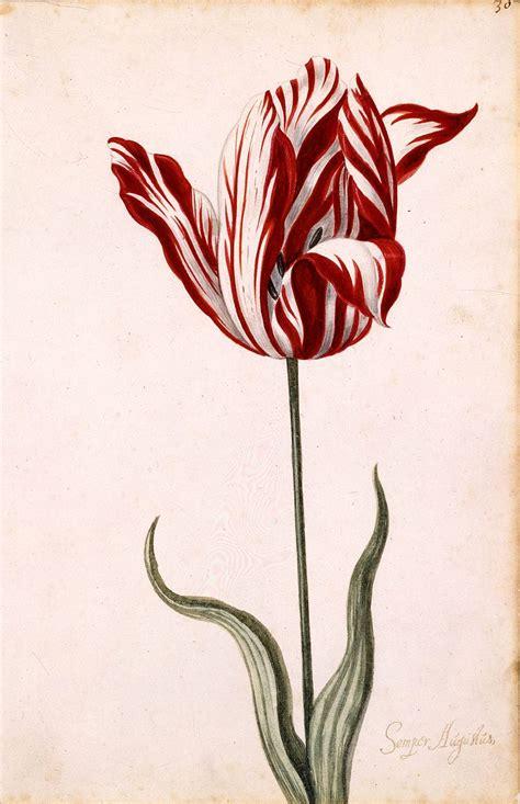 チューリップ 花の図像 華唐草
