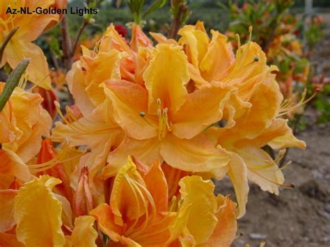 Golden Lights Azalea by Azalea Golden Lights Hess Landscape Nursery