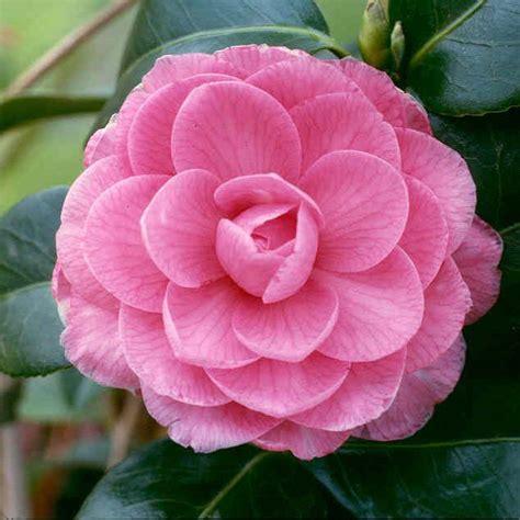 camellia alabama state flower flowers pinterest