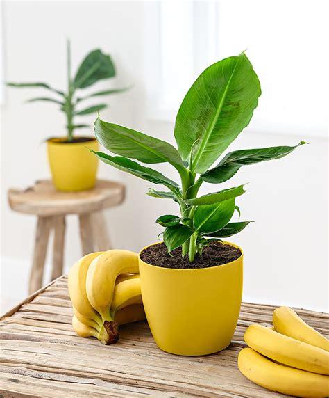 mini bananen pflanze buy banana plant scented pot bakker