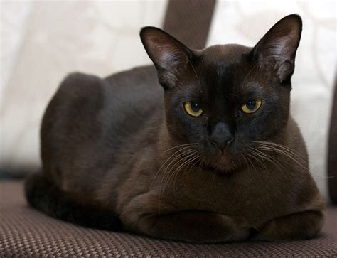 large lazy burmese cat info personality kittens pictures