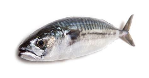 types  mackerel fish horse mackerel fish