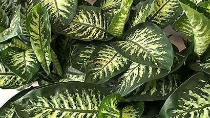 Dieffenbachia Snow Tropic Plants Plant Tree