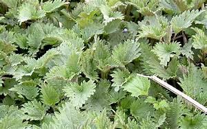 Pflanze Große Blätter : gro e brennessel pflanze urtica dioica europ ische heilkr uter tem heilkr uter nach ~ Markanthonyermac.com Haus und Dekorationen