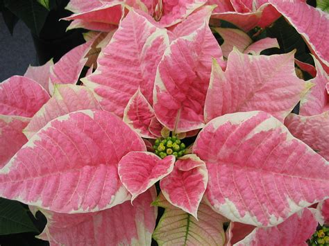 poinsettia pink related keywords suggestions for marble poinsettia