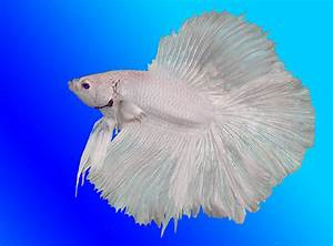 Betta Fish Lovers | All about betta fish