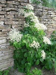 Plante Ombre Exterieur : hortensia grimpant pour habiller un mur ou un arbre plante ombre mi ombre jardin ~ Carolinahurricanesstore.com Idées de Décoration