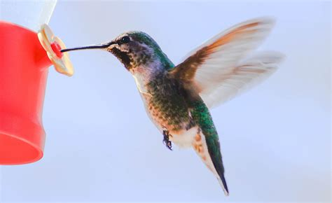 hummingbird at water feeder photograph by michael moriarty