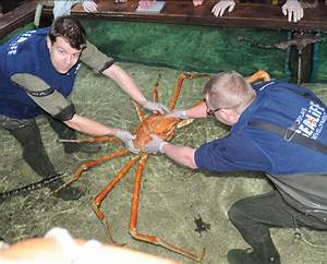 Worlds Biggest Spider Crab