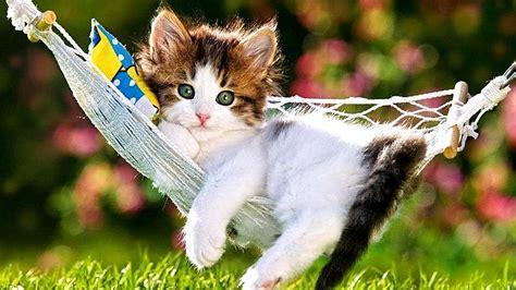 Kitten In A Hammock by Kitten In Hammock Wallpaper Wallpaper