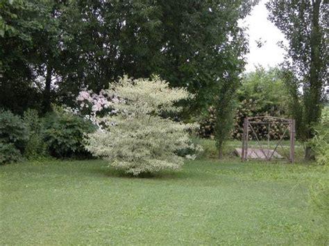 cornus alternifolia argentea pepiniere laurentfr