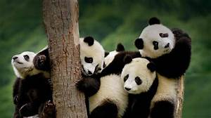 Panda Bear cubs | Pandas | Pinterest